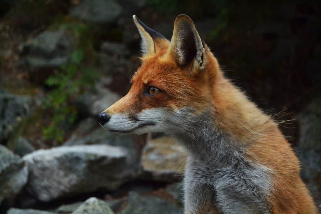 A picture of a fox staring intently