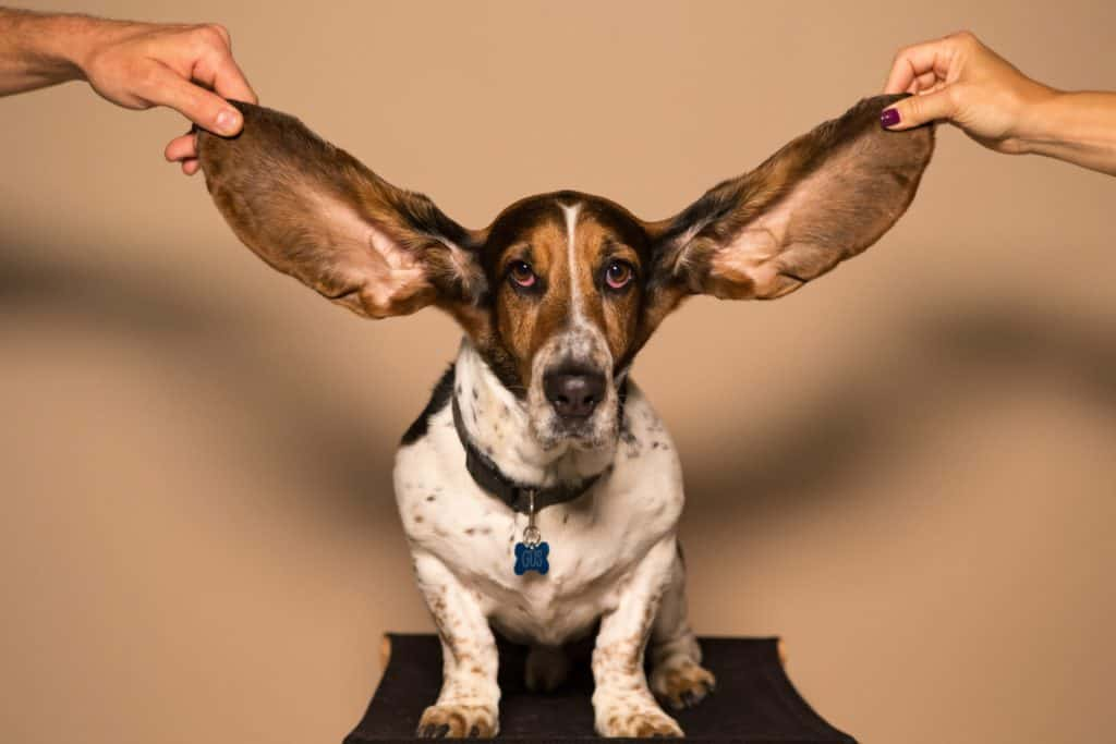 An image of a dog whose ears are being held up by two human hands.