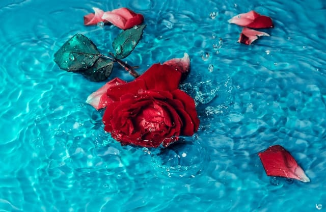 An image of a rose and petals floating in clear water.