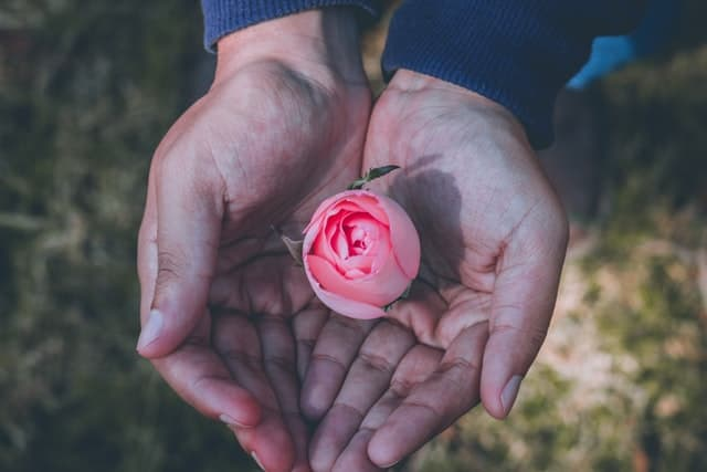 An image of hands holding a small pink rose.