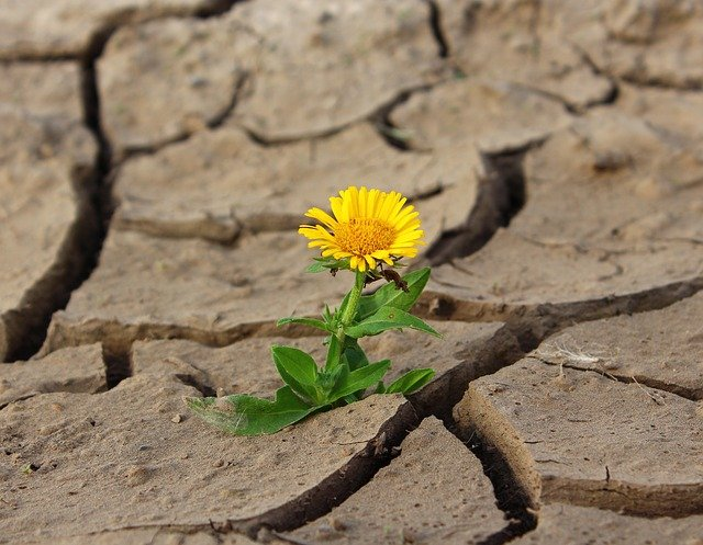 An image of a dandelion growing in the cracks of mud