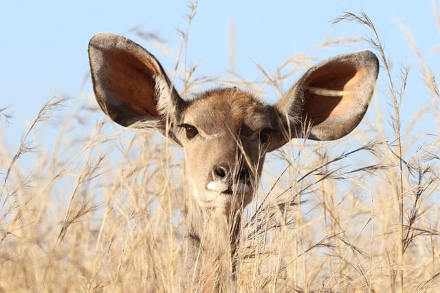 An image of a deer with large ears listening to what's happening.
