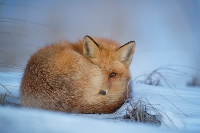An image of a fox hiding in the snow.