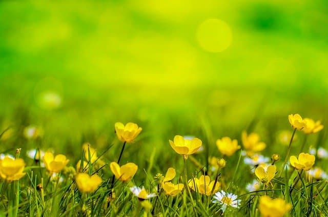An image of a field of buttercups