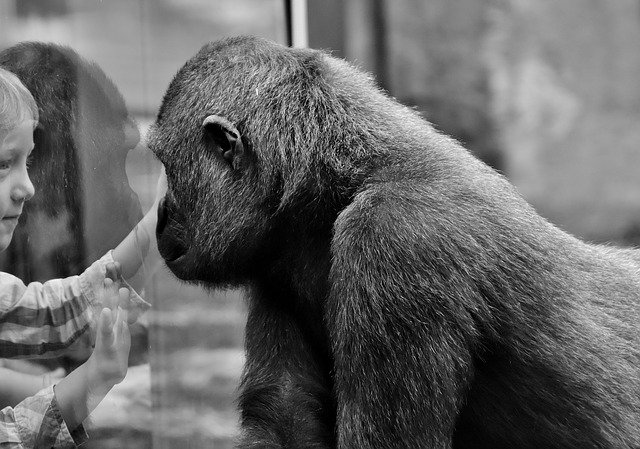 An image of a boy looking through a window connecting with a gorilla.