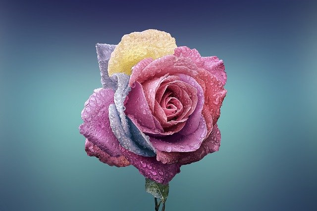 """An image of a pink and purple rose.  Image by <a href=""""https://pixabay.com/users/bessi-909086/?utm_source=link-attribution&utm_medium=referral&utm_campaign=image&utm_content=729509"""">Bessi</a> from <a href=""""https://pixabay.com/?utm_source=link-attribution&utm_medium=referral&utm_campaign=image&utm_content=729509"""">Pixabay</a>"""